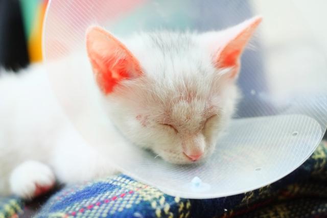 猫の皮膚病・全身真菌症を治すキャットフードの選び方