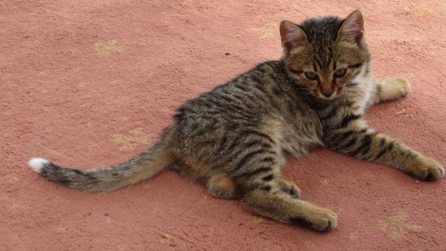 猫 尿路結石