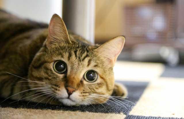 猫ニッコリ^^ おすすめグレインフリーキャットフード8選